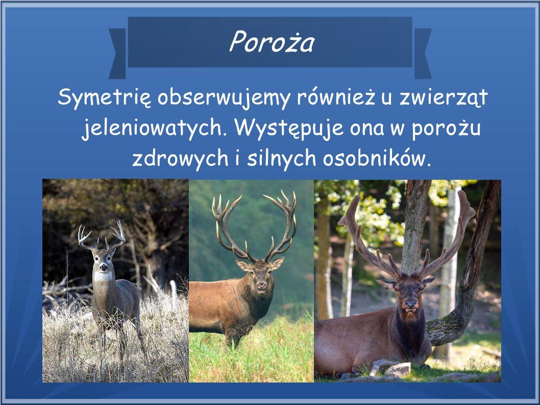 Poroża Symetrię obserwujemy również u zwierząt jeleniowatych. Występuje ona w porożu zdrowych i silnych osobników.