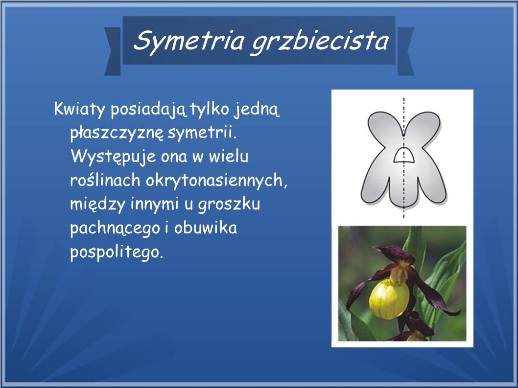 Symetria grzbiecista Kwiaty posiadają tylko jedną płaszczyznę symetrii. Występuje ona w wielu roślinach okrytonasiennych, między innymi u groszku pach