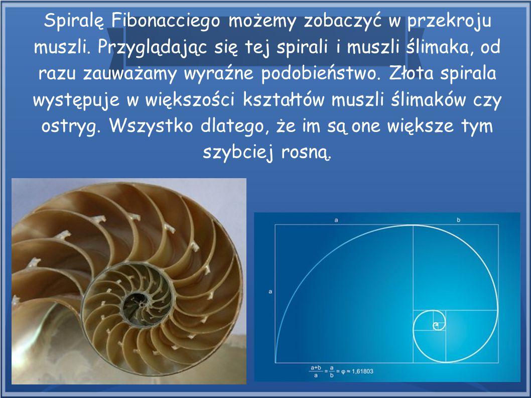 Spiralę Fibonacciego możemy zobaczyć w przekroju muszli. Przyglądając się tej spirali i muszli ślimaka, od razu zauważamy wyraźne podobieństwo. Złota
