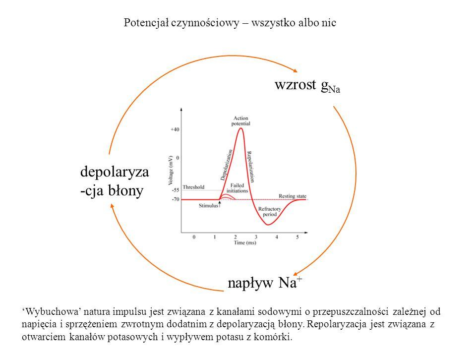 wzrost g Na Potencjał czynnościowy – wszystko albo nic depolaryza -cja błony napływ Na + 'Wybuchowa' natura impulsu jest związana z kanałami sodowymi
