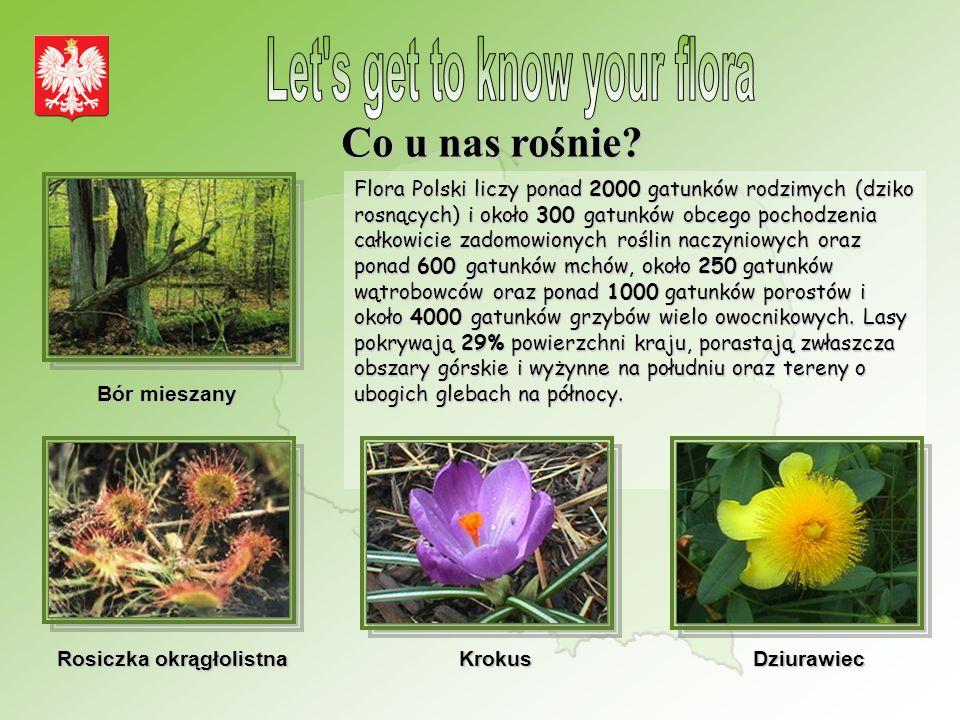 Co u nas rośnie? Flora Polski liczy ponad 2000 gatunków rodzimych (dziko rosnących) i około 300 gatunków obcego pochodzenia całkowicie zadomowionych r