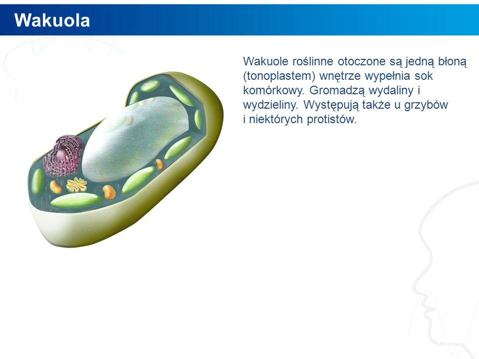 Wakuola 11 Wakuole roślinne otoczone są jedną błoną (tonoplastem) wnętrze wypełnia sok komórkowy.