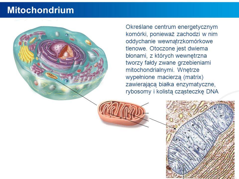 Mitochondrium 7 Określane centrum energetycznym komórki, ponieważ zachodzi w nim oddychanie wewnątrzkomórkowe tlenowe.