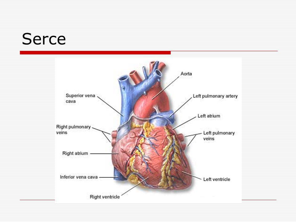 Anatomia serca  Jamy serca Lewy i prawy przedsionek Lewa i prawa komora  Zastawki serca Przedsionkowo-komorowe (mitralna, trójdzielna) Półksiężycowate (aorty, pnia płucnego)  Przegroda Międzyprzedsionkowa Międzykomorowa