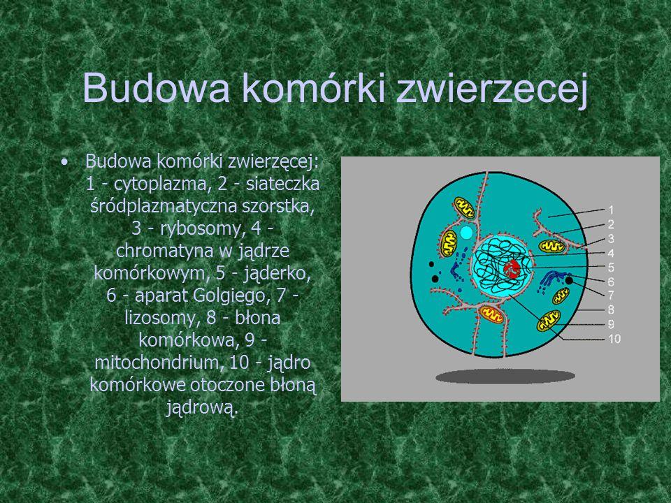 Budowa komórki zwierzecej Budowa komórki zwierzęcej: 1 - cytoplazma, 2 - siateczka śródplazmatyczna szorstka, 3 - rybosomy, 4 - chromatyna w jądrze ko