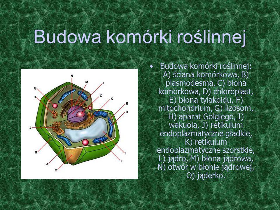 Budowa komórki roślinnej Budowa komórki roślinnej: A) ściana komórkowa, B) plasmodesma, C) błona komórkowa, D) chloroplast, E) błona tylakoidu, F) mit