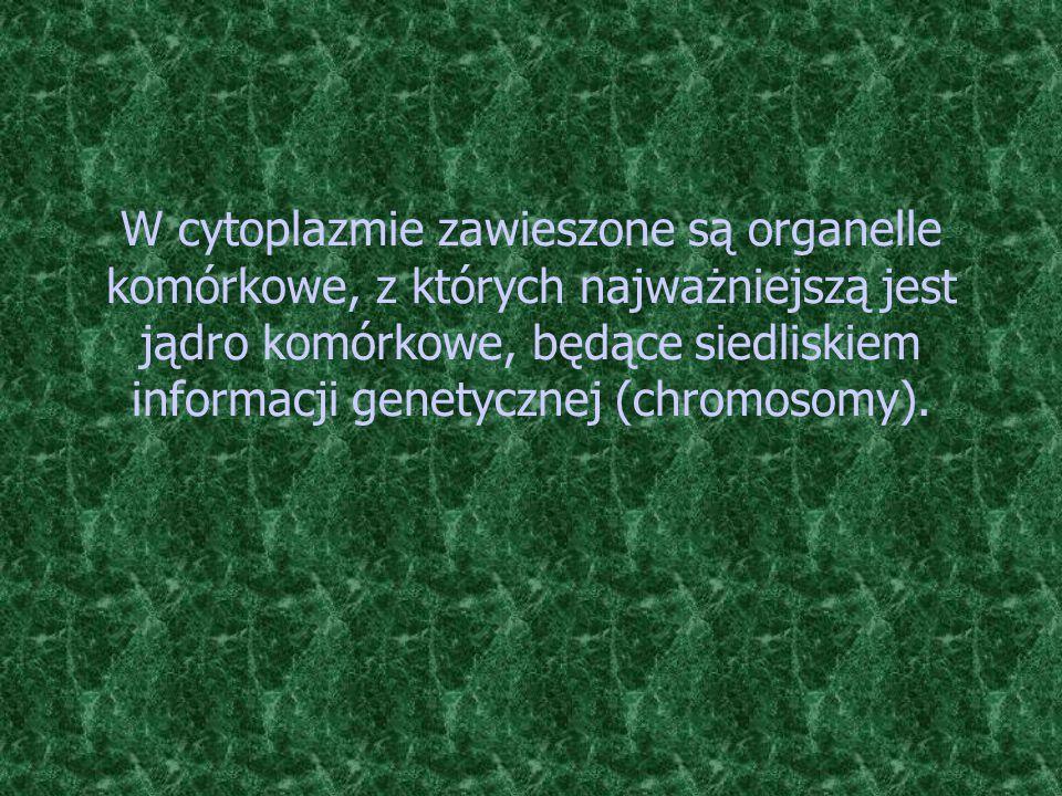 W cytoplazmie zawieszone są organelle komórkowe, z których najważniejszą jest jądro komórkowe, będące siedliskiem informacji genetycznej (chromosomy).