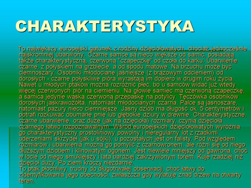 CHARAKTERYSTYKA To największy europejski gatunek z rodziny dzięciołowatych, chociaż jednocześnie najskromniej ubarwiony. Czarne samce są nieco większe