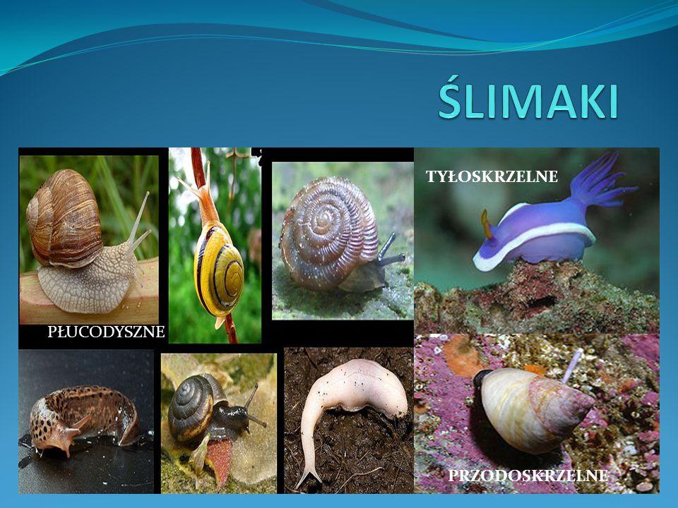 MIĘCZAKI czyli Tyle o Stawonogach powróćmy do głównych grup bezkręgowców Ślimaki Małże Głowonogi