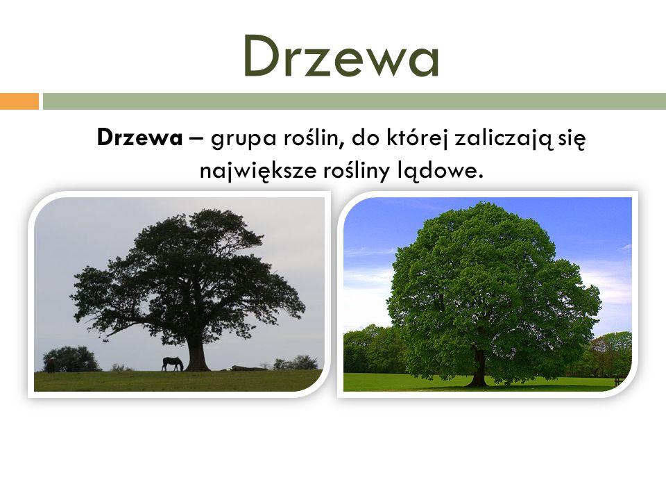 Drzewa Drzewa – grupa roślin, do której zaliczają się największe rośliny lądowe.