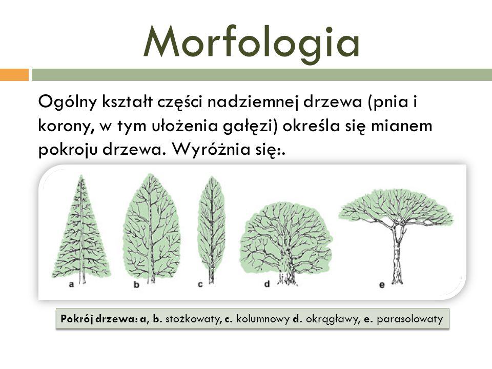 Morfologia Ogólny kształt części nadziemnej drzewa (pnia i korony, w tym ułożenia gałęzi) określa się mianem pokroju drzewa. Wyróżnia się:. Pokrój drz