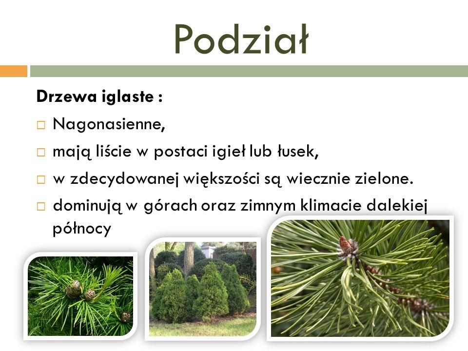 Podział Drzewa iglaste :  Nagonasienne,  mają liście w postaci igieł lub łusek,  w zdecydowanej większości są wiecznie zielone.  dominują w górach