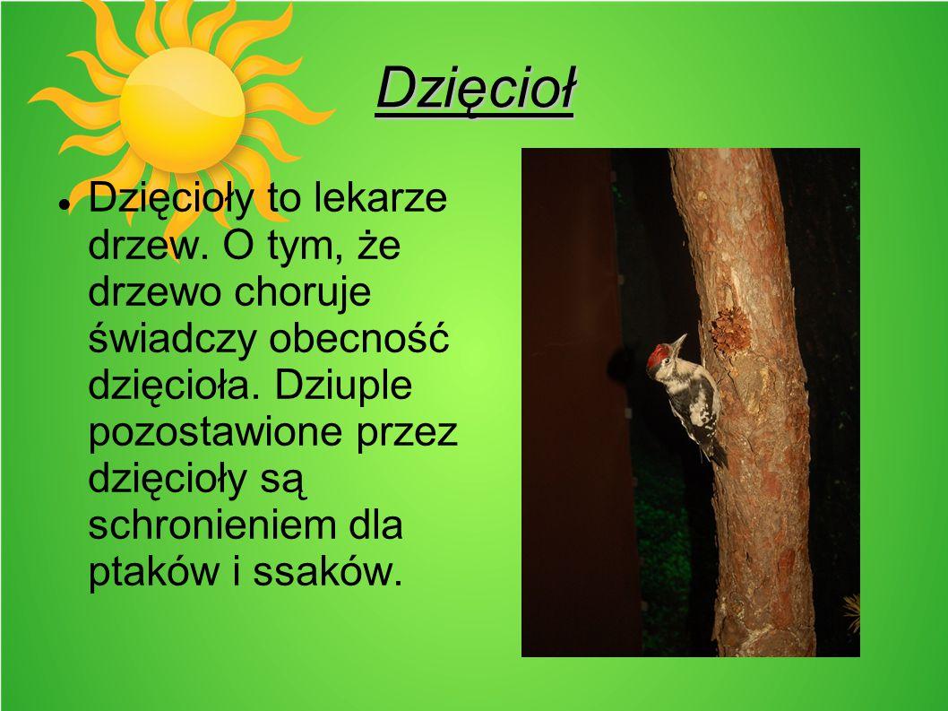 Dzięcioł Dzięcioły to lekarze drzew. O tym, że drzewo choruje świadczy obecność dzięcioła. Dziuple pozostawione przez dzięcioły są schronieniem dla pt