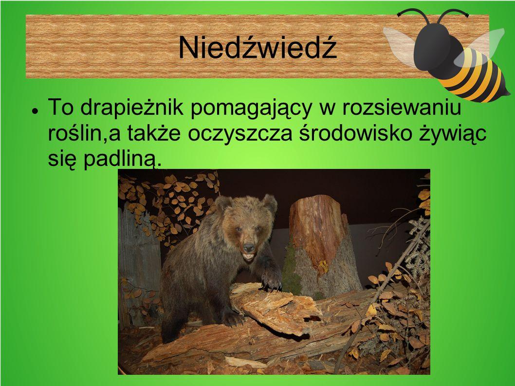 Niedźwiedź To drapieżnik pomagający w rozsiewaniu roślin,a także oczyszcza środowisko żywiąc się padliną.