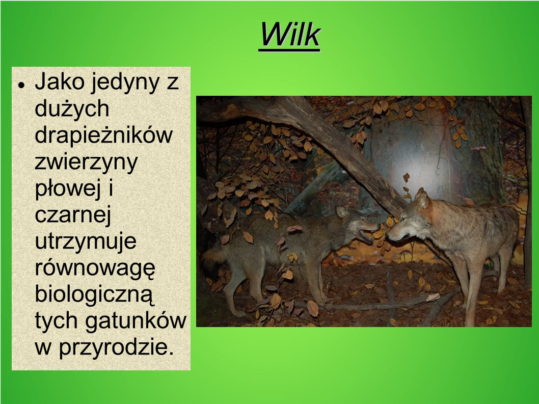 Wilk Jako jedyny z dużych drapieżników zwierzyny płowej i czarnej utrzymuje równowagę biologiczną tych gatunków w przyrodzie.