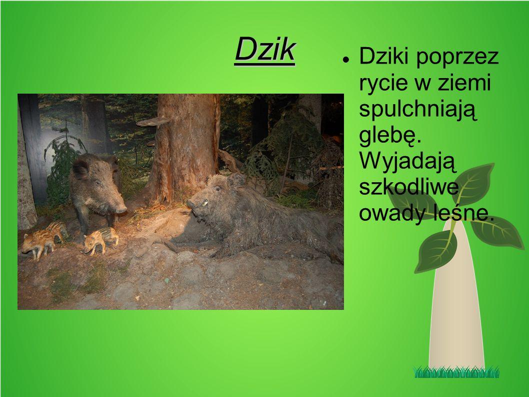 Dzik Dziki poprzez rycie w ziemi spulchniają glebę. Wyjadają szkodliwe owady leśne.