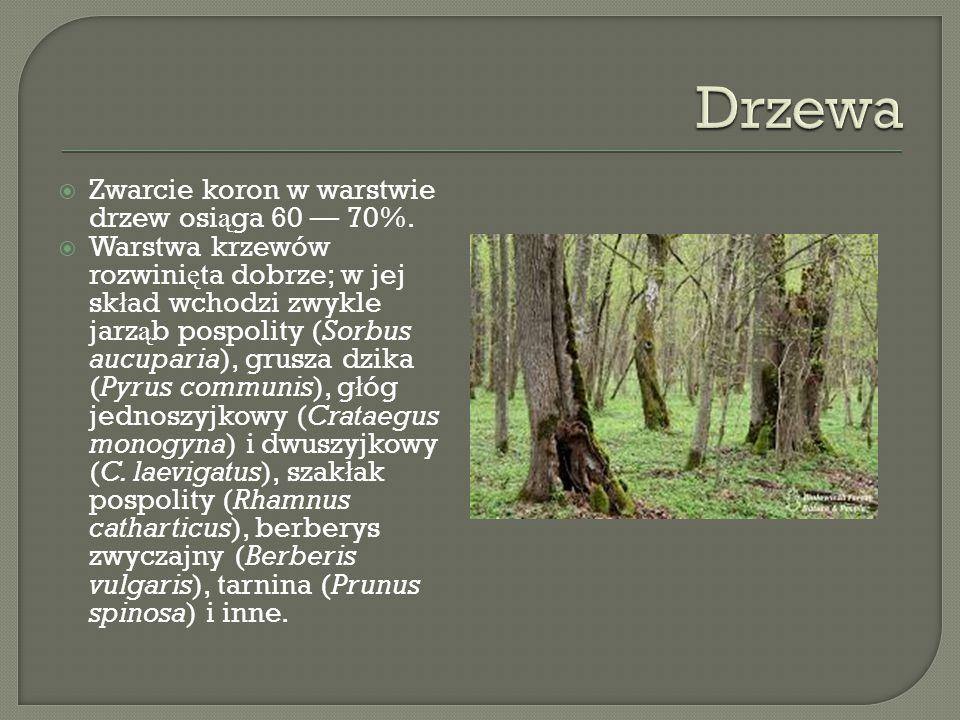  Zwarcie koron w warstwie drzew osi ą ga 60 — 70%.
