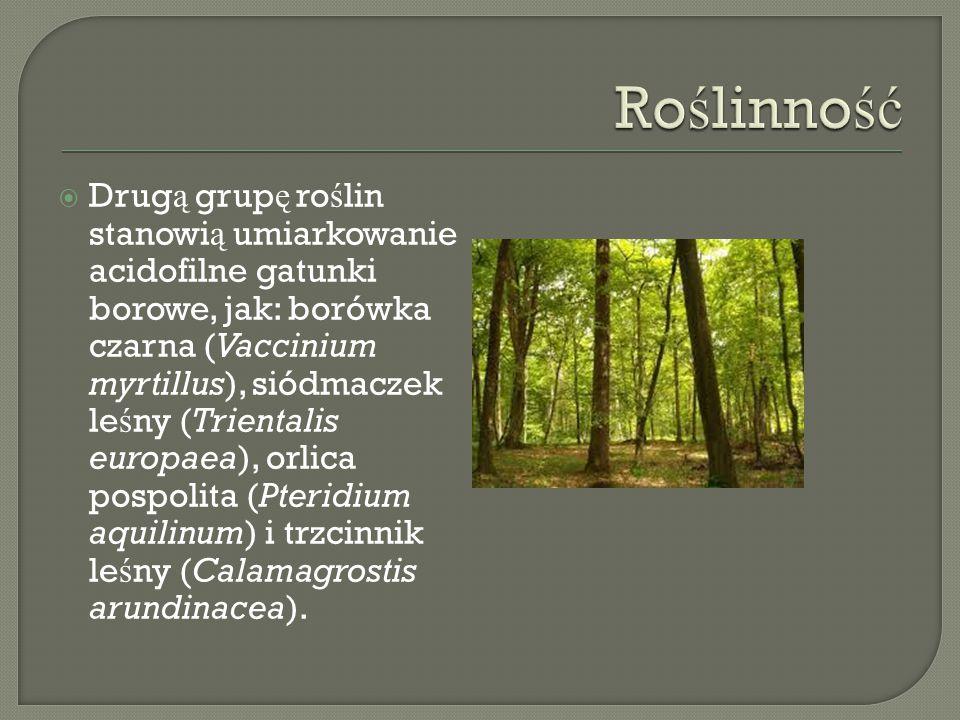  Drug ą grup ę ro ś lin stanowi ą umiarkowanie acidofilne gatunki borowe, jak: borówka czarna (Vaccinium myrtillus), siódmaczek le ś ny (Trientalis europaea), orlica pospolita (Pteridium aquilinum) i trzcinnik le ś ny (Calamagrostis arundinacea).
