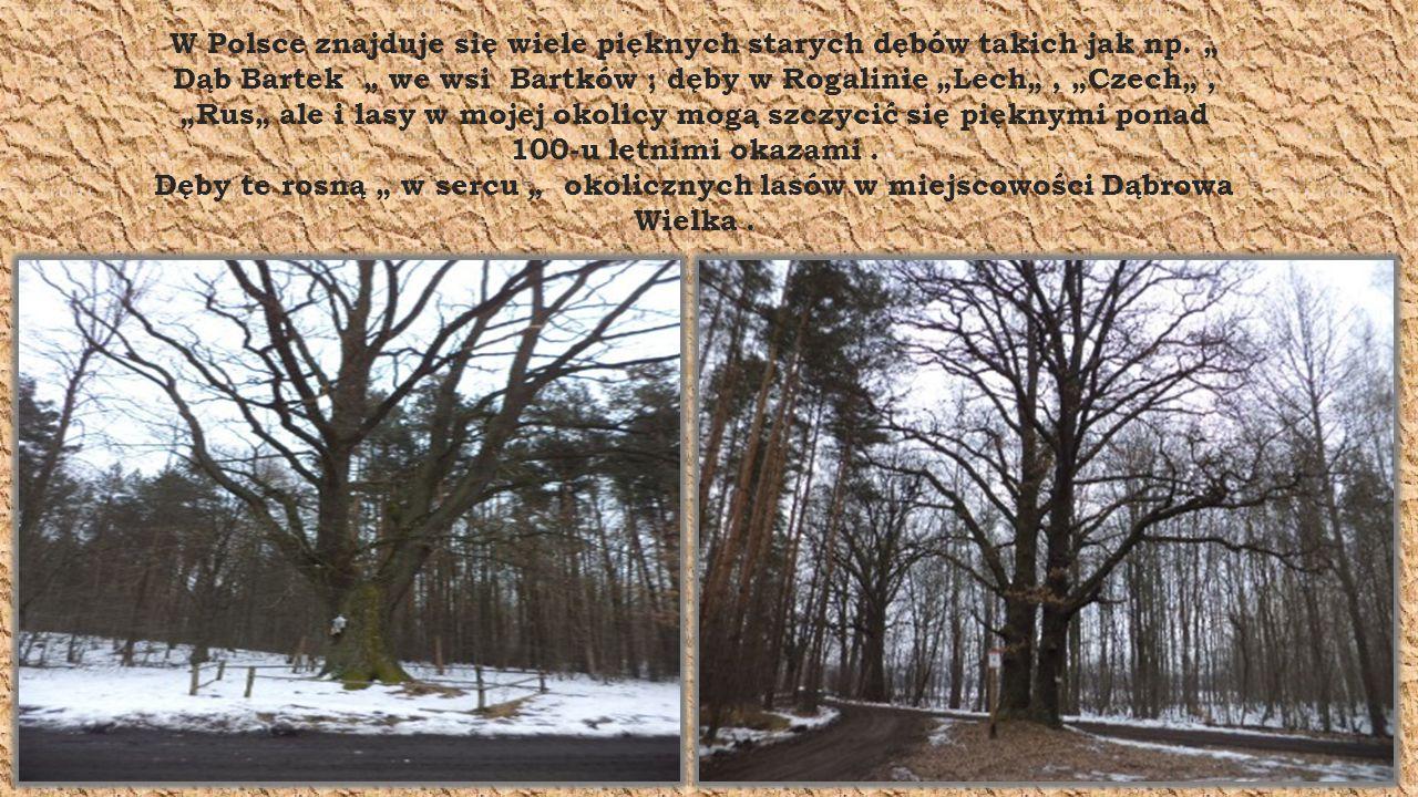 W Polsce znajduje się wiele pięknych starych dębów takich jak np.