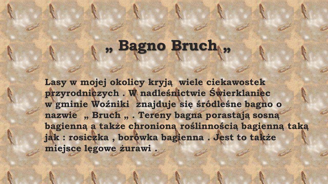 """"""" Bagno Bruch """" """" Bagno Bruch """" Lasy w mojej okolicy kryją wiele ciekawostek przyrodniczych."""