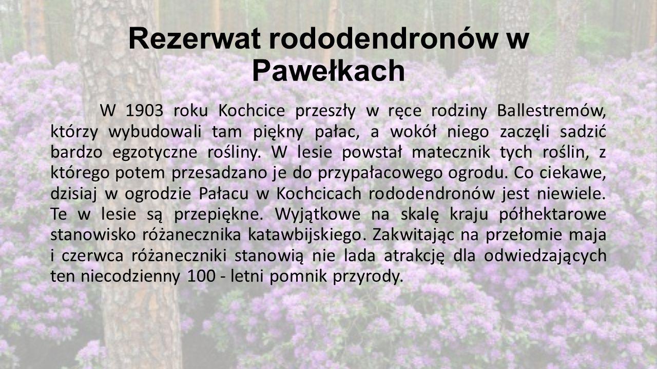Rezerwat rododendronów w Pawełkach W 1903 roku Kochcice przeszły w ręce rodziny Ballestremów, którzy wybudowali tam piękny pałac, a wokół niego zaczęl
