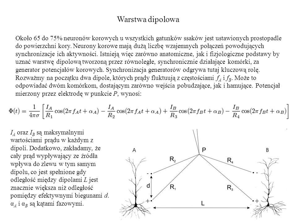 Warstwa dipolowa Około 65 do 75% neuronów korowych u wszystkich gatunków ssaków jest ustawionych prostopadle do powierzchni kory. Neurony korowe mają