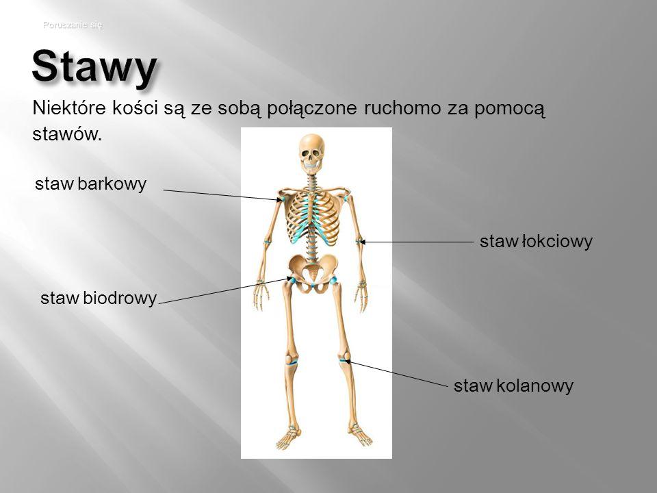Stawy staw barkowy staw łokciowy staw kolanowy staw biodrowy Poruszanie się Niektóre kości są ze sobą połączone ruchomo za pomocą stawów.