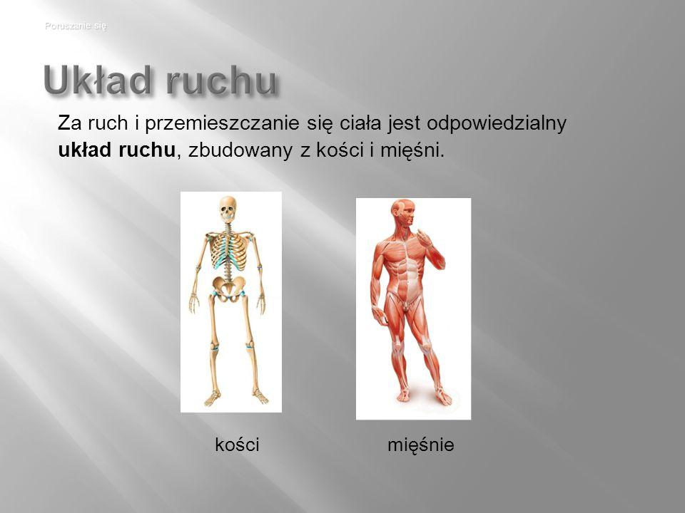 Układ ruchu kości Poruszanie się mięśnie Za ruch i przemieszczanie się ciała jest odpowiedzialny układ ruchu, zbudowany z kości i mięśni.