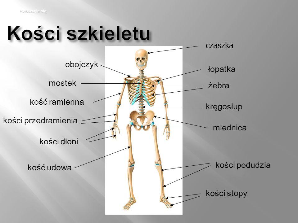 Kości szkieletu łopatka żebra kręgosłup miednica kości stopy obojczyk mostek kość ramienna kości przedramienia kości dłoni Poruszanie się czaszka kość udowa kości podudzia