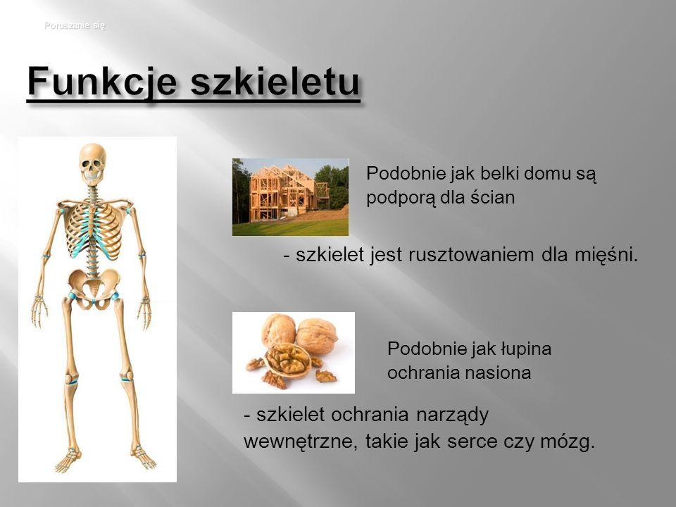 Funkcje szkieletu - szkielet jest rusztowaniem dla mięśni.