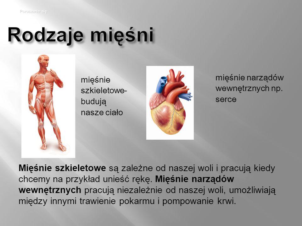 Rodzaje mięśni mięśnie szkieletowe- budują nasze ciało mięśnie narządów wewnętrznych np.
