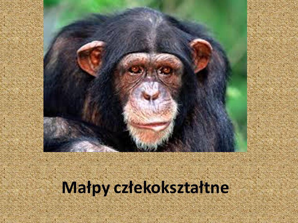 nadrodzina naczelnych, w której skład wchodzą człowiekowate (hominidy)[1] oraz gibonowate.