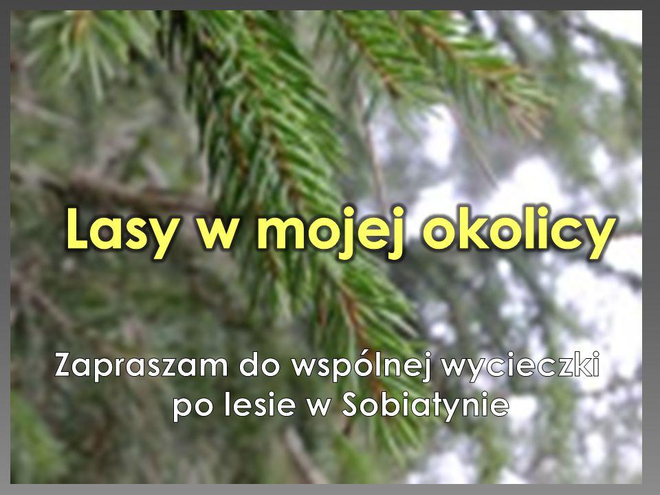 W miejscowości, w której mieszkam – w województwie podlaskim -głównie występują lasy iglaste np.: sosny, jodły i świerki.