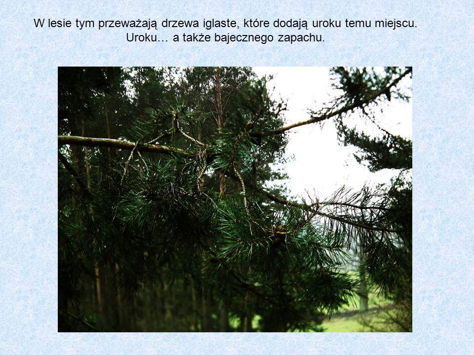 W lesie tym przeważają drzewa iglaste, które dodają uroku temu miejscu.