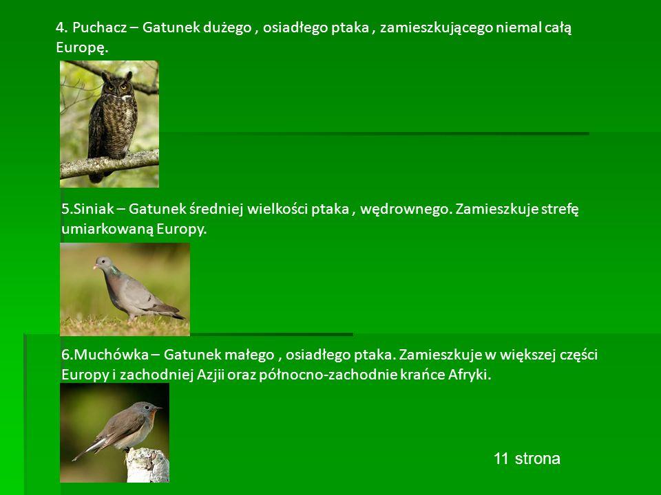 4. Puchacz – Gatunek dużego, osiadłego ptaka, zamieszkującego niemal całą Europę.