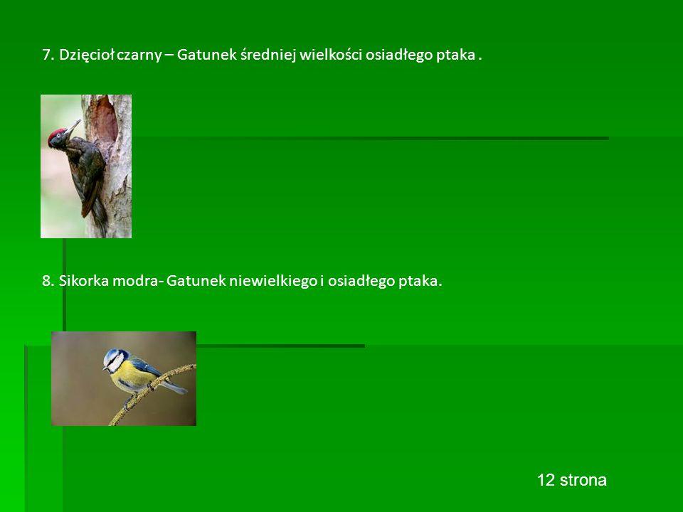 7. Dzięcioł czarny – Gatunek średniej wielkości osiadłego ptaka.
