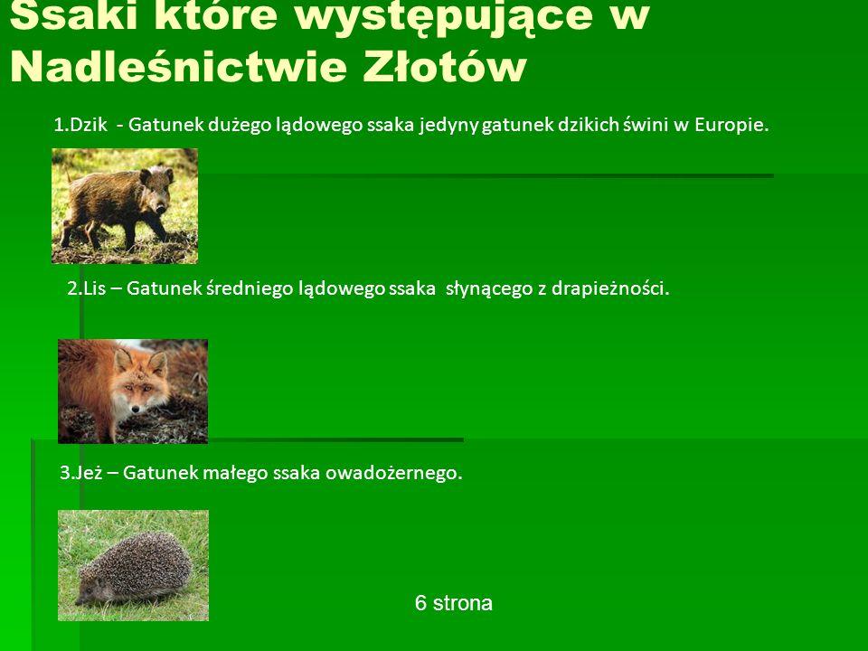 Ssaki które występujące w Nadleśnictwie Złotów 1.Dzik - Gatunek dużego lądowego ssaka jedyny gatunek dzikich świni w Europie.