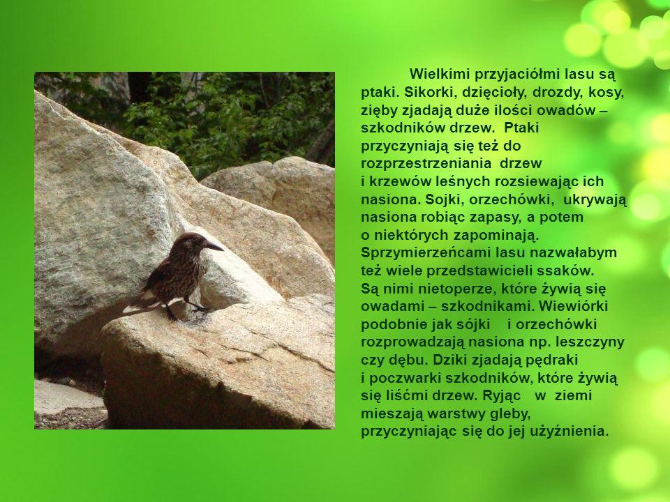 Wielkimi przyjaciółmi lasu są ptaki. Sikorki, dzięcioły, drozdy, kosy, zięby zjadają duże ilości owadów – szkodników drzew. Ptaki przyczyniają się też