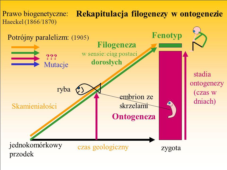 Rekapitulacja filogenezy w ontogenezie Ontogeneza Filogeneza w sensie: ciąg postaci dorosłych jednokomórkowy przodek embrion ze skrzelami czas geologi