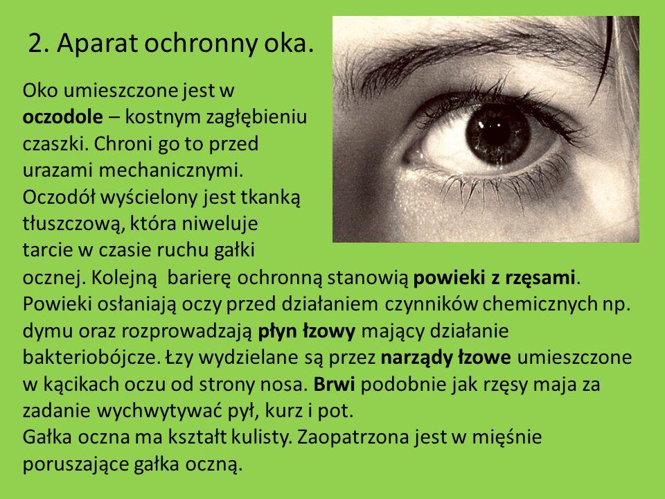 2. Aparat ochronny oka. Oko umieszczone jest w oczodole – kostnym zagłębieniu czaszki. Chroni go to przed urazami mechanicznymi. Oczodół wyścielony je