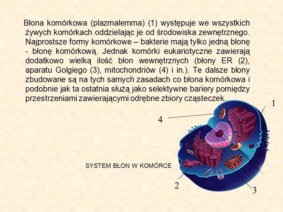 Błona komórkowa (plazmalemma) (1) występuje we wszystkich żywych komórkach oddzielając je od środowiska zewnętrznego. Najprostsze formy komórkowe – ba