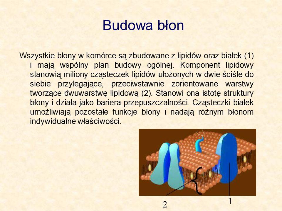 Budowa błon Wszystkie błony w komórce są zbudowane z lipidów oraz białek (1) i mają wspólny plan budowy ogólnej.