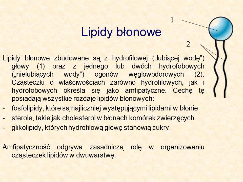 """Lipidy błonowe Lipidy błonowe zbudowane są z hydrofilowej (""""lubiącej wodę ) głowy (1) oraz z jednego lub dwóch hydrofobowych (""""nielubiących wody ) ogonów węglowodorowych (2)."""