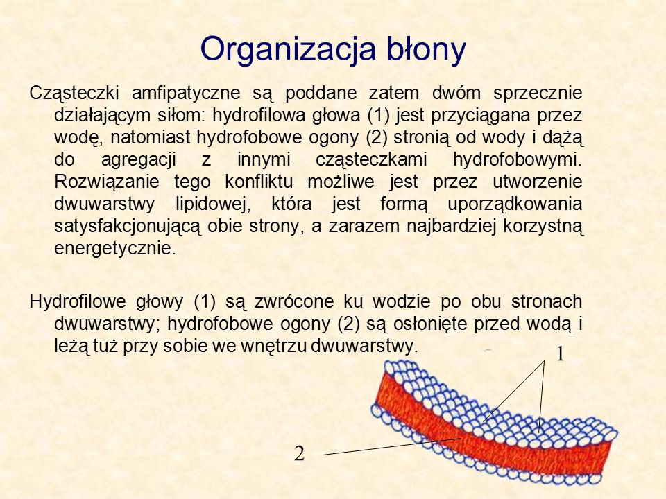 Organizacja błony Cząsteczki amfipatyczne są poddane zatem dwóm sprzecznie działającym siłom: hydrofilowa głowa (1) jest przyciągana przez wodę, natomiast hydrofobowe ogony (2) stronią od wody i dążą do agregacji z innymi cząsteczkami hydrofobowymi.