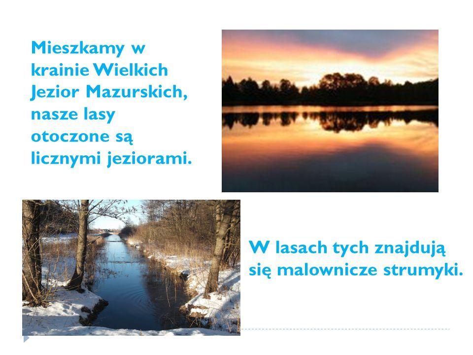 Mieszkamy w krainie Wielkich Jezior Mazurskich, nasze lasy otoczone są licznymi jeziorami.