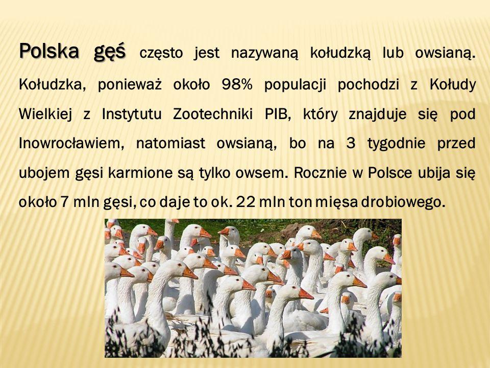 Polska gęś Polska gęś często jest nazywaną kołudzką lub owsianą.