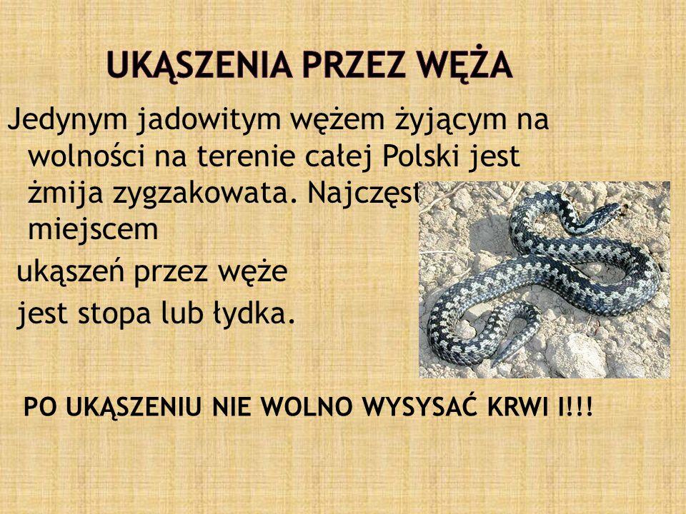 Jedynym jadowitym wężem żyjącym na wolności na terenie całej Polski jest żmija zygzakowata.