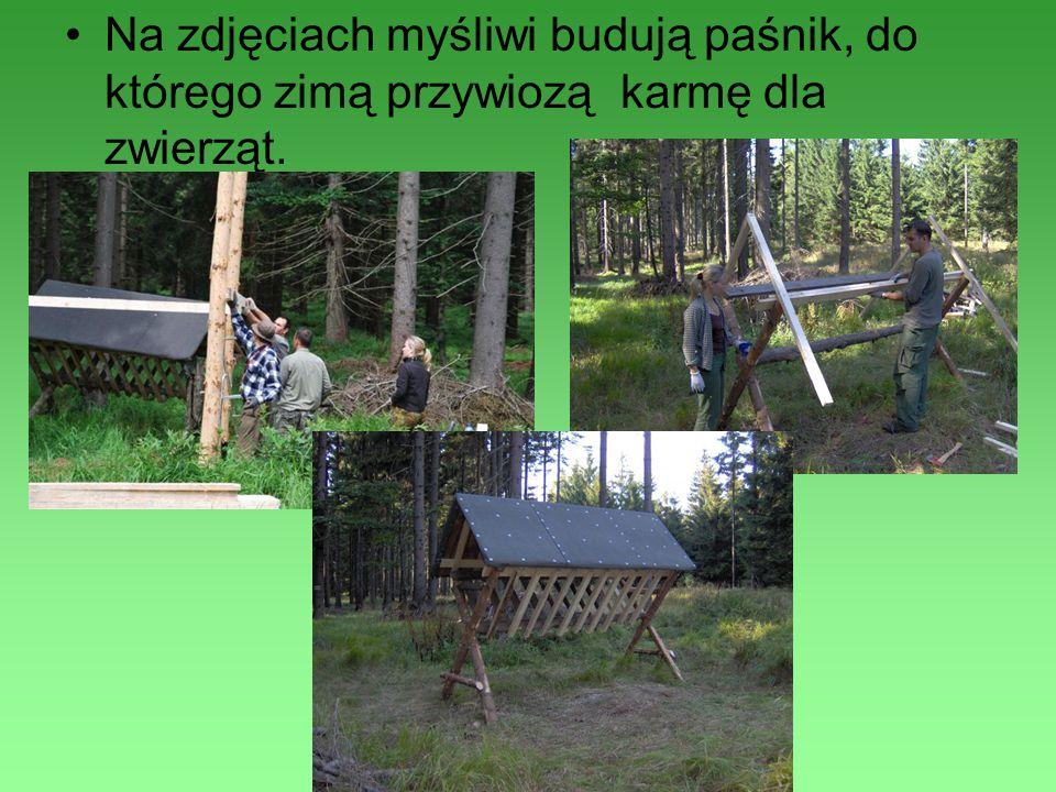Na zdjęciach myśliwi budują paśnik, do którego zimą przywiozą karmę dla zwierząt.