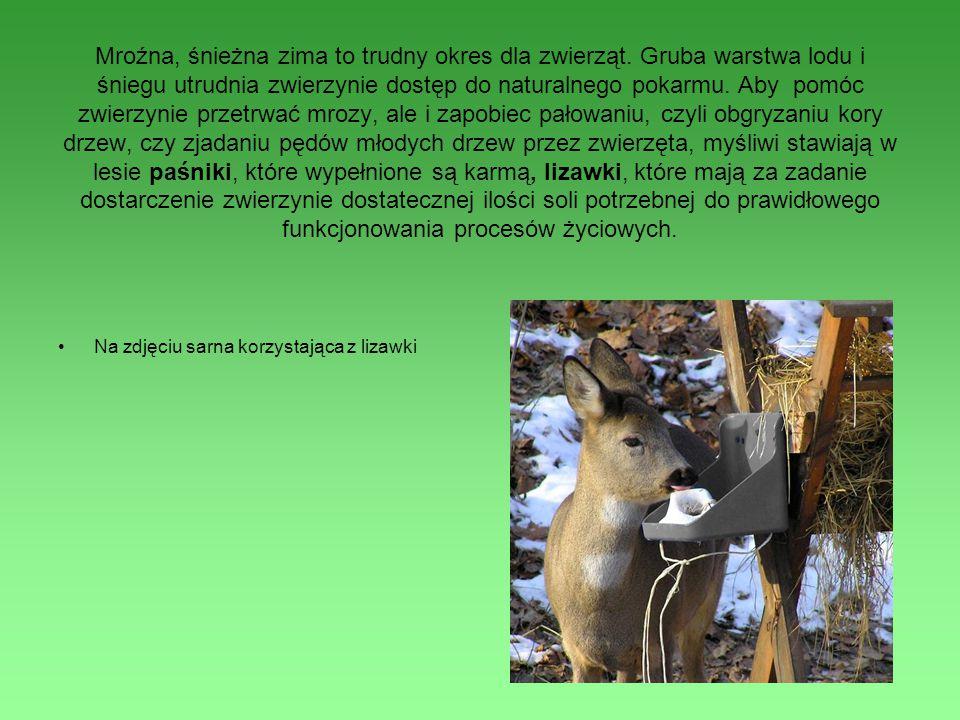 Mroźna, śnieżna zima to trudny okres dla zwierząt. Gruba warstwa lodu i śniegu utrudnia zwierzynie dostęp do naturalnego pokarmu. Aby pomóc zwierzynie