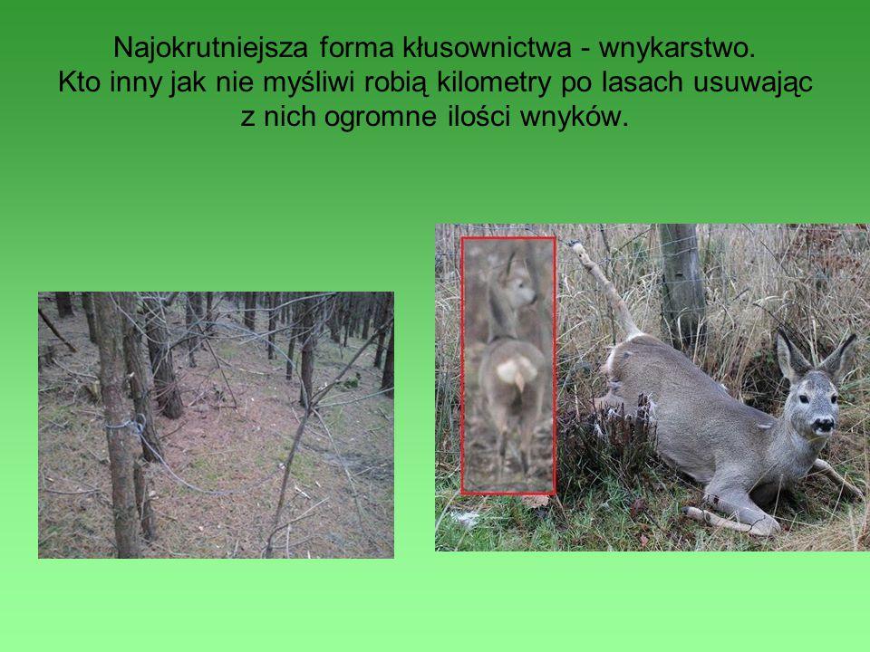 Najokrutniejsza forma kłusownictwa - wnykarstwo. Kto inny jak nie myśliwi robią kilometry po lasach usuwając z nich ogromne ilości wnyków.